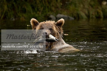 Young Female Grizzly Bear With a Pacific Pink Salmon in Her Mouth, Glendale River, Knight Inlet, British Columbia, Canada Stock Photo - Rights-Managed, Image code: 700-02833750
