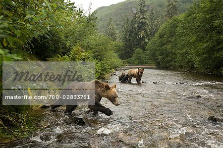 Young Male Grizzly Bear Lunging After Salmon in the Glendale River, Knight Inlet, British Columbia, Canada Stock Photo - Rights-Managed, Image code: 700-02833751