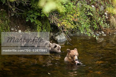 Mother Grizzly Bear and Cubs Fishing in Glendale River, Knight Inlet, British Columbia, Canada Stock Photo - Rights-Managed, Image code: 700-02833991