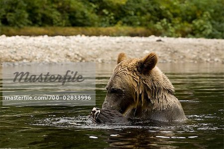 Male Grizzly Bear EatingSalmon in Glendale River, Knight Inlet, British Columbia, Canada Stock Photo - Rights-Managed, Image code: 700-02833996