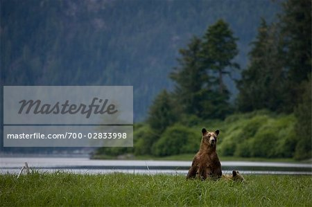 Mother Grizzly Bear with Cub, Glendale Estuary, Knight Inlet, British Columbia, Canada Stock Photo - Rights-Managed, Image code: 700-02833998