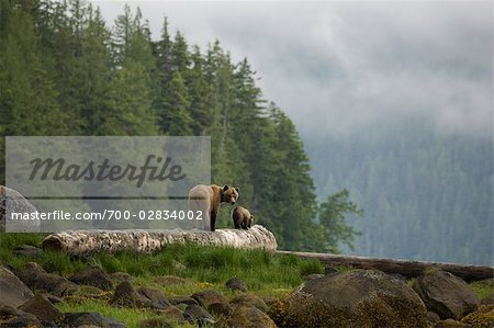Mother Grizzly and Cub, Knight Inlet, British Columbia, Canada Stock Photo - Rights-Managed, Image code: 700-02834002