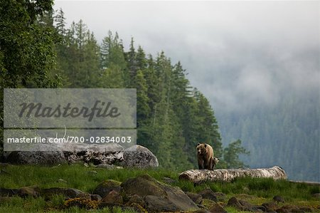 Mother Grizzly and Cub, Glendale Estuary, Knight Inlet, British Columbia, Canada Stock Photo - Rights-Managed, Image code: 700-02834003