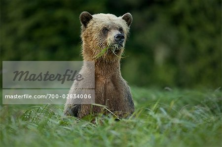 Male Grizzly Bear Eating Lyngbye's Sedge, Glendale Estuary, Knight Inlet, British Columbia, Canada Stock Photo - Rights-Managed, Image code: 700-02834006
