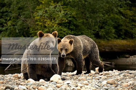Two Young Grizzly Bears by Glendale River, Knight Inlet, British Columbia, Canada Stock Photo - Rights-Managed, Image code: 700-02834007