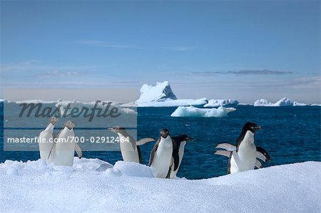 Adelie Penguins, Antarctic Peninsula, Antarctica Stock Photo - Rights-Managed, Image code: 700-02912464