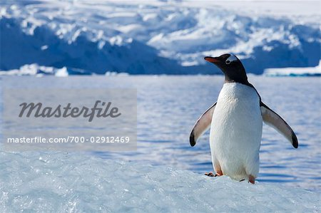 Gentoo Penguin, Antarctica Stock Photo - Rights-Managed, Image code: 700-02912469