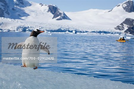 Gentoo Penguin Observing Kayaker, Antarctica Stock Photo - Rights-Managed, Image code: 700-02912470