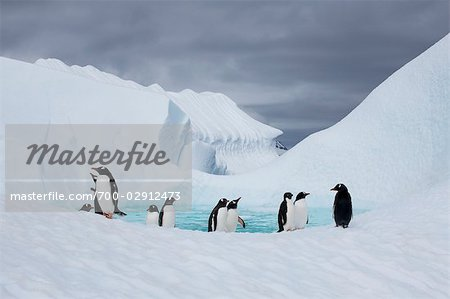 Gentoo Penguins, Antarctica Stock Photo - Rights-Managed, Image code: 700-02912473