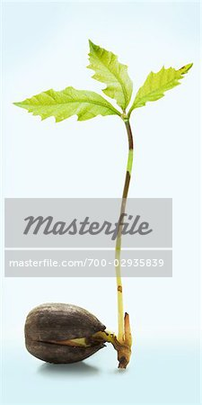 Sprouting Acorn Stock Photo - Rights-Managed, Image code: 700-02935839