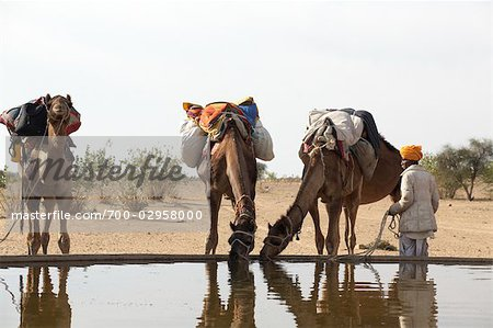 Camels Drinking Water, Thar Desert, Rajasthan, India Stock Photo - Rights-Managed, Image code: 700-02958000