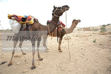 Camels, Thar Desert, Rajasthan, India Stock Photo - Rights-Managed, Image code: 700-02958008
