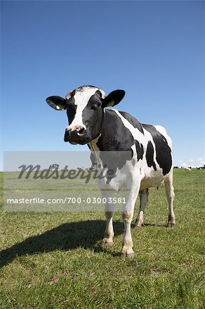Portrait of Cow Stock Photo - Rights-Managed, Image code: 700-03003581