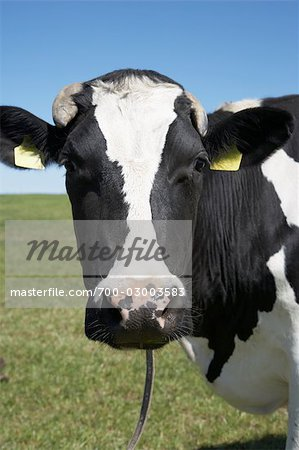 Portrait of Cow Stock Photo - Rights-Managed, Image code: 700-03003583