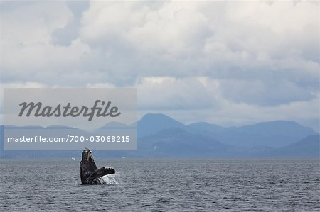 Breaching Humpback whale, British Columbia, Canada Stock Photo - Rights-Managed, Image code: 700-03068215