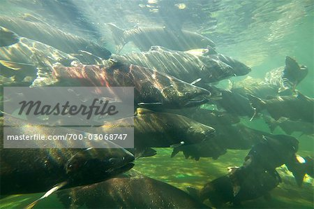 Chinook Salmon Stock Photo - Rights-Managed, Image code: 700-03068747