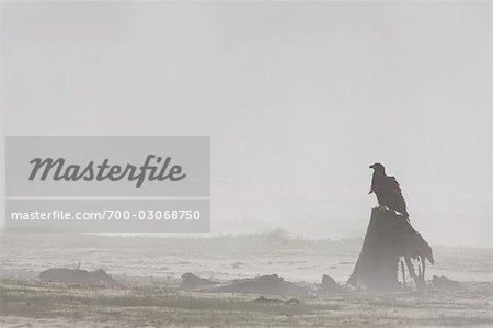 Bald Eagle in Fog Stock Photo - Rights-Managed, Image code: 700-03068750