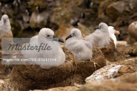 Black-browed Albatross Chicks, Falkland Islands Stock Photo - Rights-Managed, Image code: 700-03083906