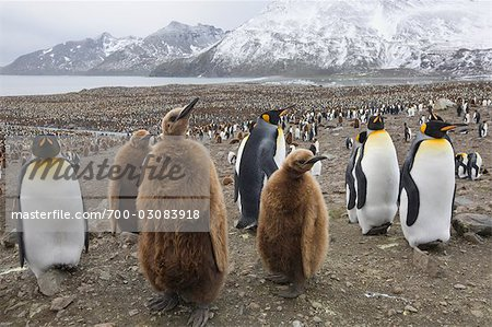 King Penguins, South Georgia Island, Antarctica Stock Photo - Rights-Managed, Image code: 700-03083918