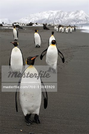 King Penguins, South Georgia Island, Antarctica Stock Photo - Rights-Managed, Image code: 700-03083920