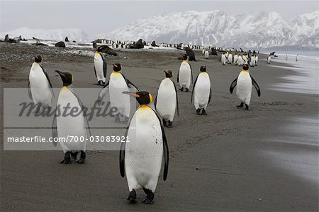 King Penguins, South Georgia Island, Antarctica Stock Photo - Rights-Managed, Image code: 700-03083921