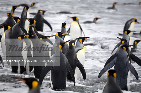 King Penguins in Surf, South Georgia Island, Antarctica Stock Photo - Rights-Managed, Image code: 700-03083926