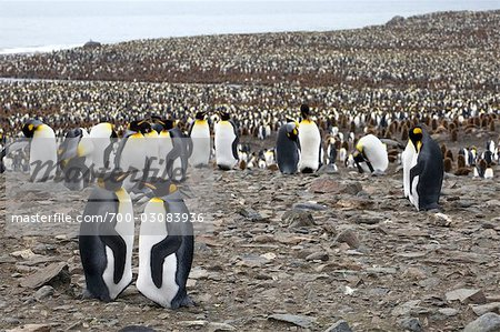 King Penguins, South Georgia Island, Antarctica Stock Photo - Rights-Managed, Image code: 700-03083936