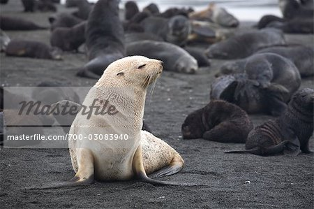 White Phase Fur Seal, South Georgia Island, Antarctica Stock Photo - Rights-Managed, Image code: 700-03083940
