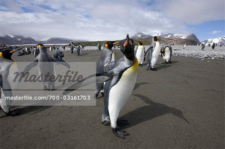 King Penguin, South Georgia Island, Antarctica Stock Photo - Rights-Managed, Image code: 700-03161703