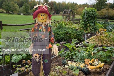 Scarecrow In Organic Garden   Stock Photo