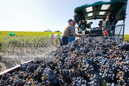 Grape Harvest at Chateau Lynch-Bages, Pauillac, Gironde, Aquitaine, France Stock Photo - Rights-Managed, Image code: 700-03244030