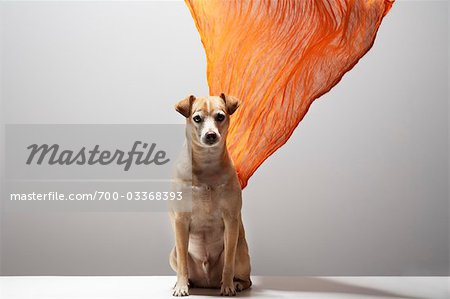 Dog and Scarf Stock Photo - Rights-Managed, Image code: 700-03368393