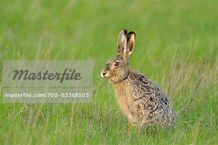 Portrait of Hare