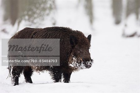Wild Boar Stock Photo - Rights-Managed, Image code: 700-03404703