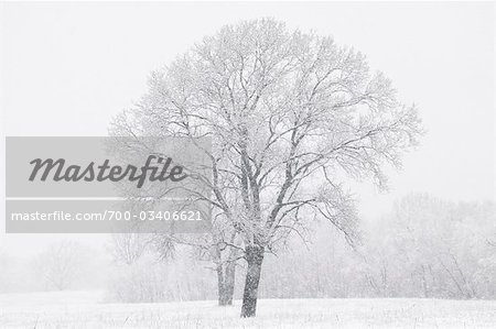 Cottonwood Tree in Winter, Dallas, Texas, USA Stock Photo - Rights-Managed, Image code: 700-03406621