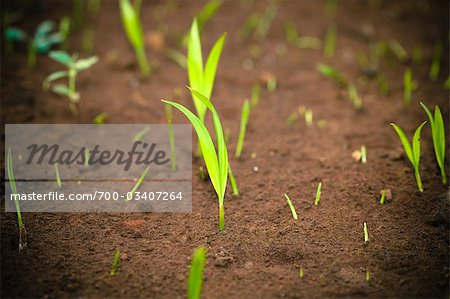 New Plants Sprouting through Soil Stock Photo - Rights-Managed, Image code: 700-03407264