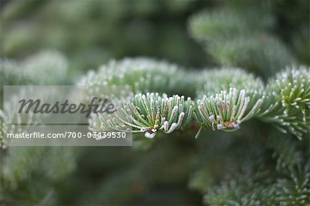 Close-up of Evergreen Tree Stock Photo - Rights-Managed, Image code: 700-03439530