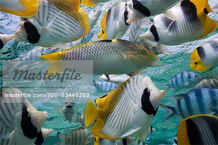 Various Tropical Reef Fish, Bora Bora Nui Resort, Bora Bora, Tahiti, French Polynesia Stock Photo - Rights-Managed, Image code: 700-03440202