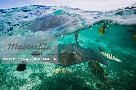 Manta Ray with Tropical Fish, Bora Bora, Tahiti, French Polynesia Stock Photo - Rights-Managed, Image code: 700-03440204