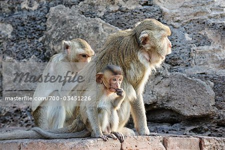 Crab-eating Macaques at Phra Prang Sam Yot, Lopburi, Thailand