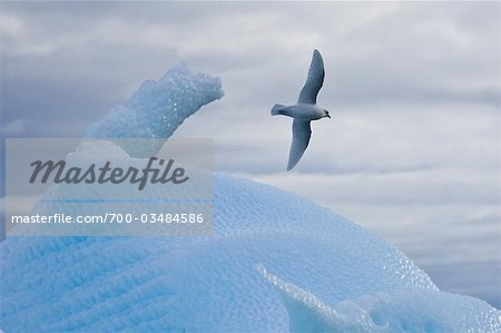 Snow Petrel Flying over Iceberg, Antarctica Stock Photo - Rights-Managed, Image code: 700-03484586