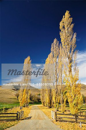 Poplar Tree-Lined Road, Omarama Valley, Canterbury, South Island, New Zealand Stock Photo - Rights-Managed, Image code: 700-03508393