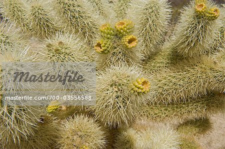 Close-up of Cholla Cactus Stock Photo - Rights-Managed, Image code: 700-03556588