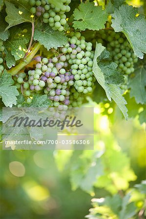 Grapes in Vineyard Stock Photo - Rights-Managed, Image code: 700-03586306