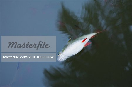Dead Fish in Pond, Samut Songkhram Province, Thailand Stock Photo - Rights-Managed, Image code: 700-03586784