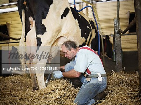 Farmer Milking Holstein Cow on Organic Dairy Farm, Ontario, Canada Stock Photo - Rights-Managed, Image code: 700-03621365