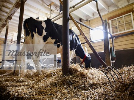 Holstein Dairy Cow in Barn, Ontario, Canada Stock Photo - Rights-Managed, Image code: 700-03621429