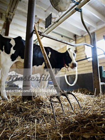 Pitchfork and Holstein Dairy Cow in Barn, Ontario, Canada Stock Photo - Rights-Managed, Image code: 700-03621434