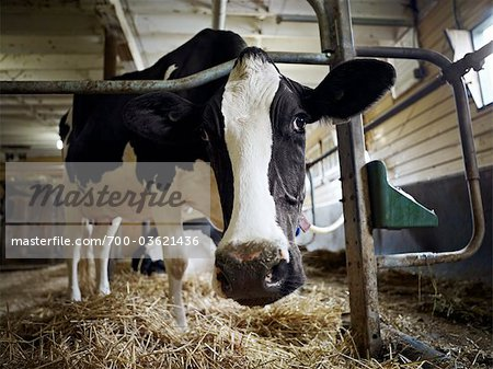 Portrait of Holstein Dairy Cow in Barn, Ontario, Canada Stock Photo - Rights-Managed, Image code: 700-03621436