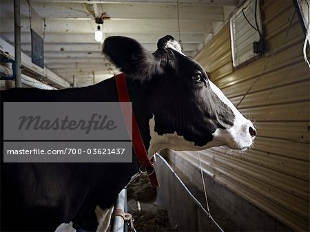 Portrait of Holstein Dairy Cow in Barn, Ontario, Canada Stock Photo - Rights-Managed, Image code: 700-03621437